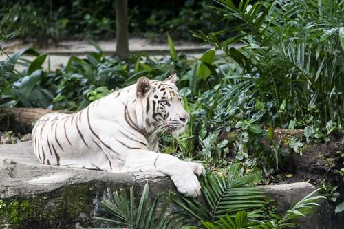 Bengal White Tiger Stock Photo 08
