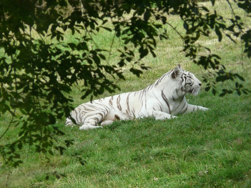 Bengal White Tiger Stock Photo 10