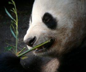 Chinese giant panda casual eating bamboo Stock Photo 01