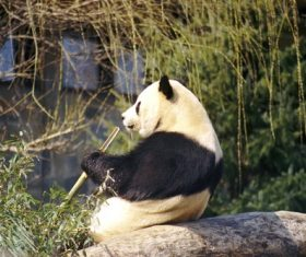 Chinese giant panda casual eating bamboo Stock Photo 03