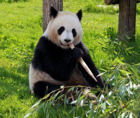 Chinese giant panda casual eating bamboo Stock Photo 04