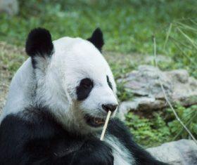 Chinese giant panda casual eating bamboo Stock Photo 05