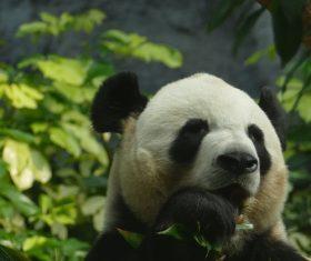 Chinese giant panda casual eating bamboo Stock Photo 06