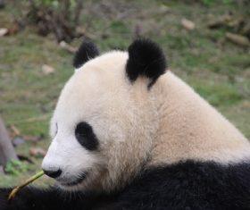 Chinese giant panda casual eating bamboo Stock Photo 07