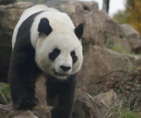 Chinese giant panda leisure walk Stock Photo 04