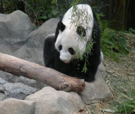 Chinese giant panda leisure walk Stock Photo 05