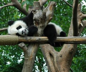 Chinese giant panda playing on the trunk Stock Photo