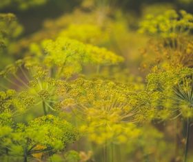 Dill parsley Stock Photo 02