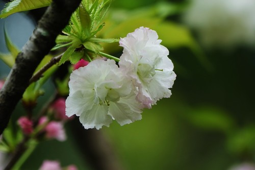 Early blooming cherry blossoms Stock Photo 07