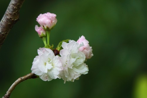 Early blooming cherry blossoms Stock Photo 08