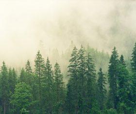 Fog shrouded green coniferous forest Stock Photo