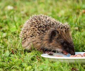 Hedgehog eating food Stock Photo