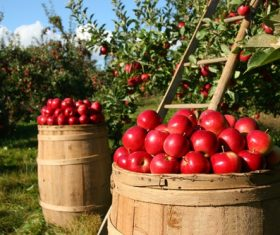 Orchard harvesting red apples Stock Photo
