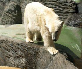 Polar bear in the aquarium Stock Photo 02
