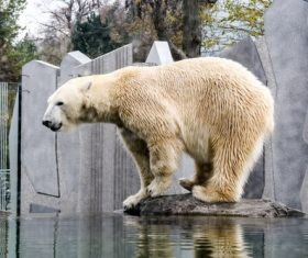 Polar bear in the aquarium Stock Photo 06
