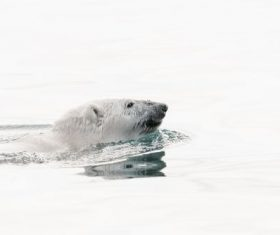 Polar bear swimming in the water Stock Photo