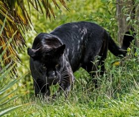 Rare wild black leopard Stock Photo 01