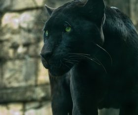 Rare wild black leopard Stock Photo 02