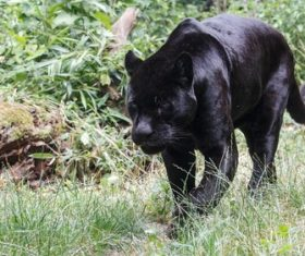 Rare wild black leopard Stock Photo 04
