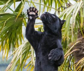 Rare wild black leopard Stock Photo 05