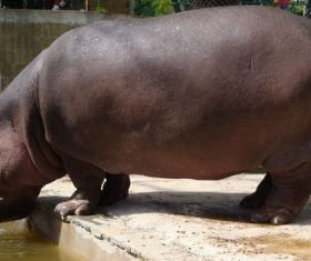 Robust hippo Stock Photo 02