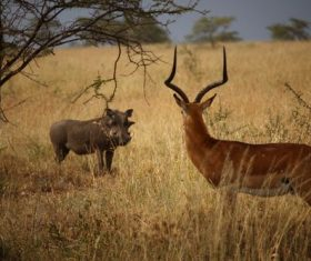 Stock Photo Antelope and wild boar confrontation