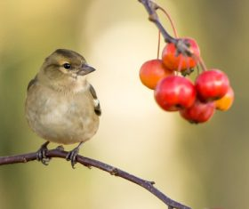 Stock Photo Birds and wild berries on the branches