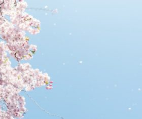 Stock Photo Capture cherry blossom falling