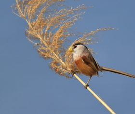 Stock Photo China Rare bird species Reed Parrotbill 04