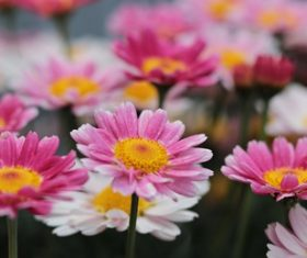 Stock Photo Colorful flowers daisy
