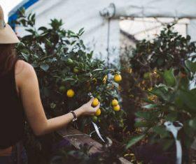 Stock Photo Girl picking oranges