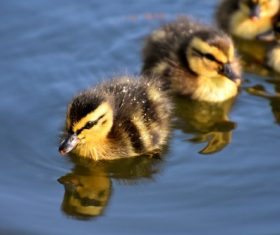 Stock Photo Hairy little ducklings swimming