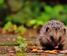 Stock Photo Hedgehog