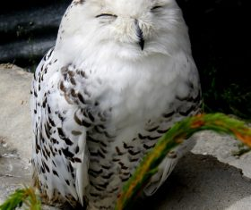 Stock Photo Snowy Owl 01