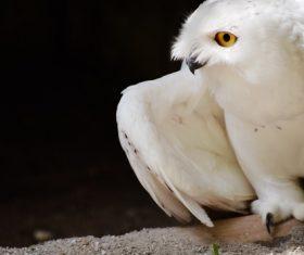 Stock Photo Snowy Owl 02