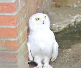 Stock Photo Snowy Owl 03