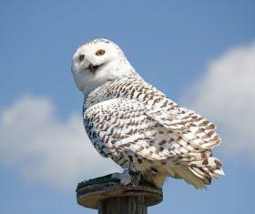Stock Photo Snowy Owl 04