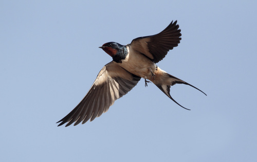 Stock Photo Swallow flight 01