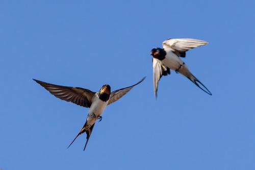 Stock Photo Swallow flight 02