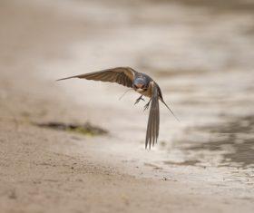 Stock Photo Swallow flight 03