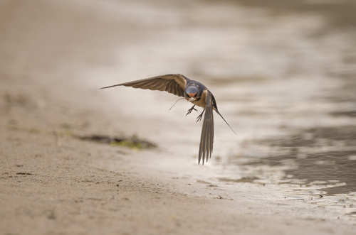 Stock Photo Swallow flight 03