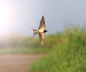 Stock Photo Swallow flight 04