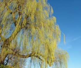 Stock Photo Weeping willow by the river 01