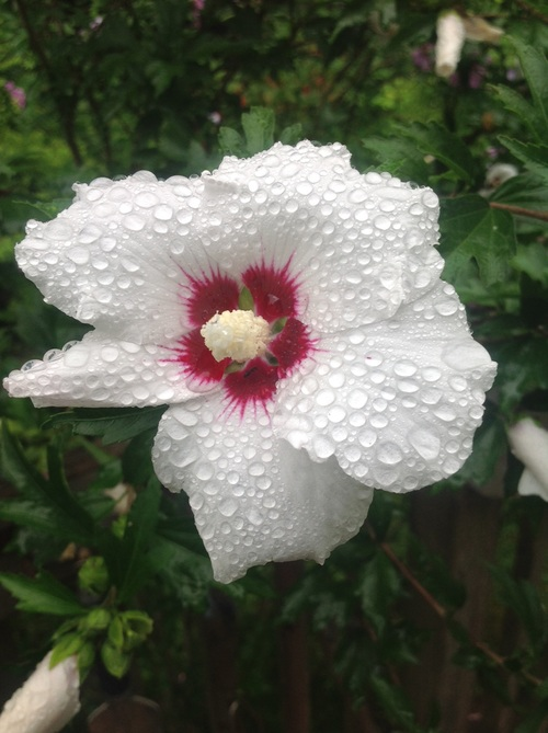 Stock Photo White hibiscus after the rain with water droplets