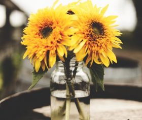 Sunflower placed in a water bottle Stock Photo
