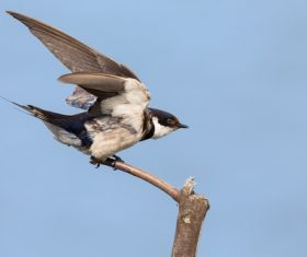 Swallow standing on a branch Stock Photo 01