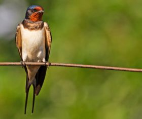 Swallow standing on a branch Stock Photo 02