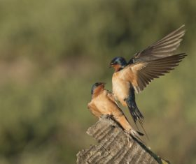 Swallow standing on a branch Stock Photo 06