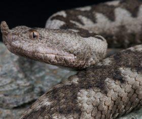 Viper snake Stock Photo 01