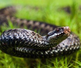 Viper snake Stock Photo 02